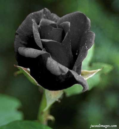 ... black rose php target _blank click to get more black rose comments