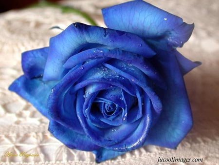 Blue Rose Graphics
